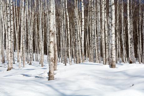 冬のシラカバ林の写真素材 [FYI01230040]
