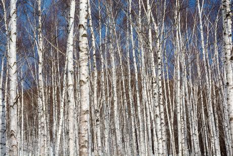 冬のシラカバ林の写真素材 [FYI01230043]