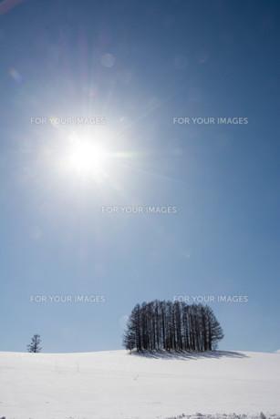 雪の丘の上のカラマツ林 美瑛町の写真素材 [FYI01230059]
