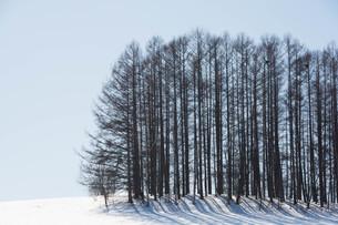 雪の丘の上のカラマツ林 美瑛町の写真素材 [FYI01230061]