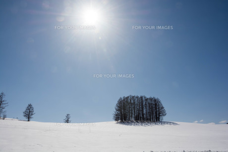 雪の丘の上のカラマツ林 美瑛町の写真素材 [FYI01230071]