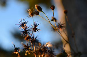 枯れ木も花の賑わいの写真素材 [FYI01230075]