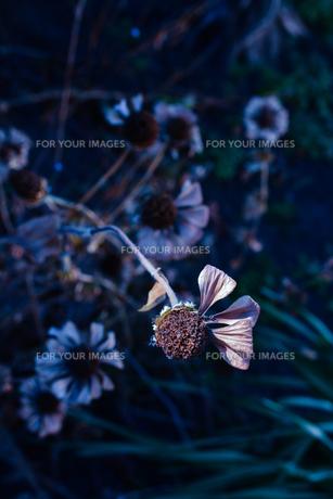 枯れ木も花の賑わいの写真素材 [FYI01230080]