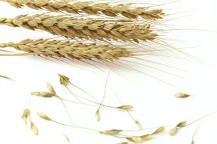 麦の写真素材 [FYI01230426]
