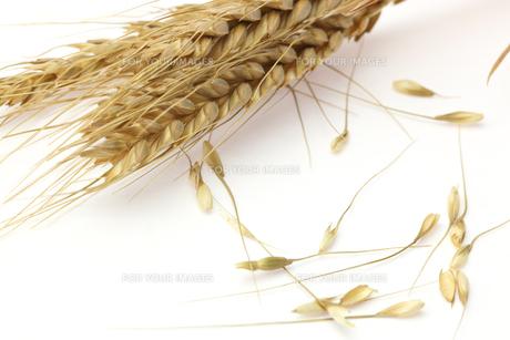 麦の写真素材 [FYI01230427]