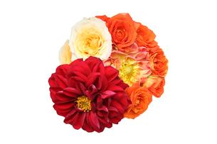 ダリアと薔薇の花束の写真素材 [FYI01230446]
