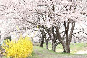 一目千本桜の写真素材 [FYI01230543]