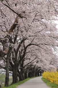一目千本桜の写真素材 [FYI01230544]