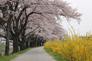 一目千本桜の写真素材 [FYI01230545]