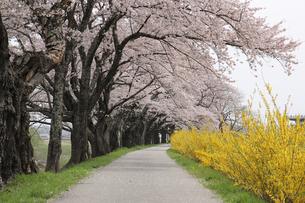 一目千本桜の写真素材 [FYI01230546]