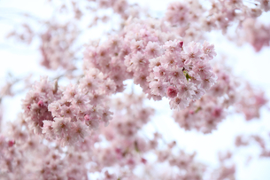 しだれ桜の写真素材 [FYI01230547]