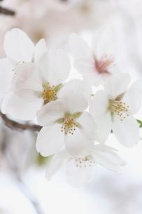 一目千本桜の写真素材 [FYI01230548]