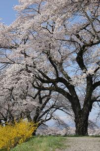 一目千本桜の写真素材 [FYI01230549]