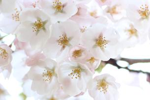 一目千本桜の写真素材 [FYI01230551]