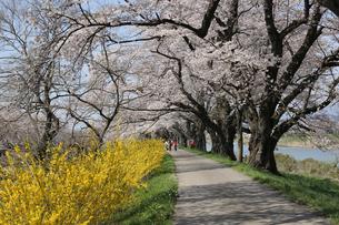 一目千本桜の写真素材 [FYI01230552]