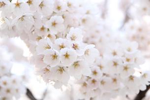 一目千本桜の写真素材 [FYI01230553]