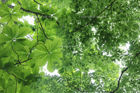 新緑の樹木の写真素材 [FYI01230554]