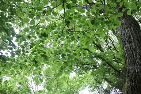 新緑の樹木の写真素材 [FYI01230555]