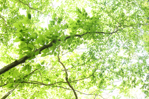 新緑の樹木の写真素材 [FYI01230557]