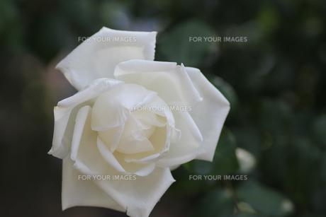 白色のバラの写真素材 [FYI01230558]