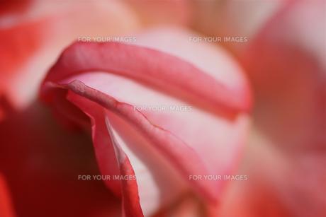 赤色のバラの写真素材 [FYI01230559]