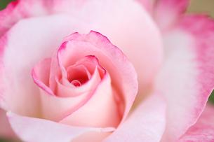 ピンク色のバラの写真素材 [FYI01230560]