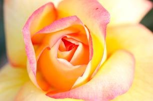 オレンジ色のバラの写真素材 [FYI01230561]