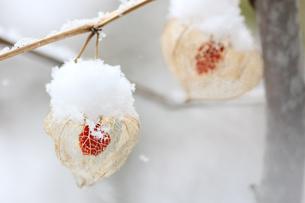 雪の中のほおづきの写真素材 [FYI01230594]