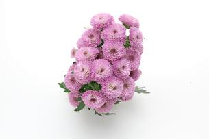 菊の花束の写真素材 [FYI01230639]