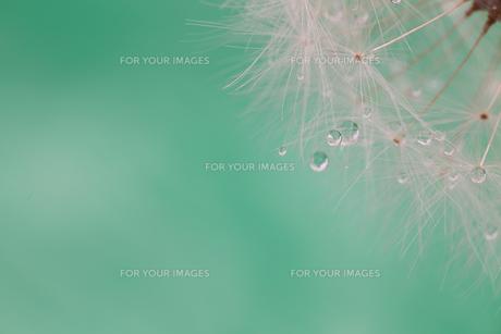 タンポポの種のクローズアップの写真素材 [FYI01230712]