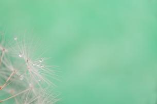 タンポポの種のクローズアップの写真素材 [FYI01230713]