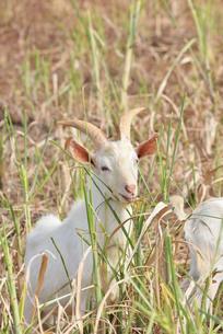 宮古島/山羊の写真素材 [FYI01230763]