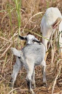 宮古島/山羊の写真素材 [FYI01230764]