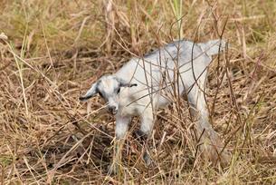 宮古島/山羊の写真素材 [FYI01230765]