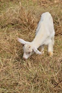 宮古島/山羊の写真素材 [FYI01230766]