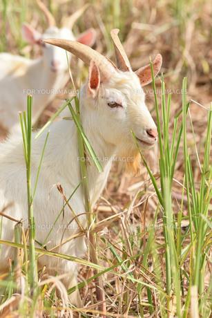 宮古島/山羊の写真素材 [FYI01230767]