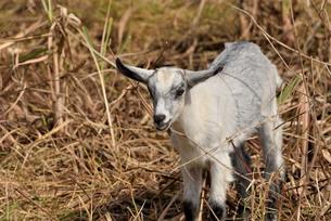 宮古島/山羊の写真素材 [FYI01230770]