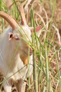 宮古島/山羊の写真素材 [FYI01230771]