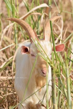 宮古島/山羊の写真素材 [FYI01230772]
