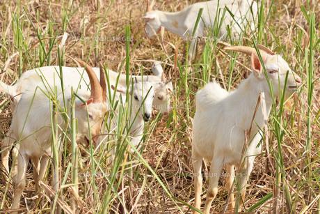 宮古島/山羊の写真素材 [FYI01230773]