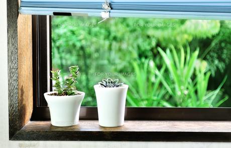 窓辺に置いた2種類の多肉植物の写真素材 [FYI01230874]