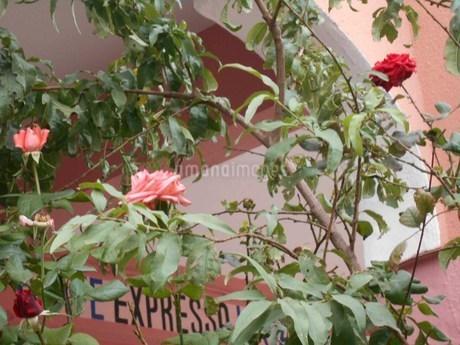 アフリカのバラの写真素材 [FYI01230897]