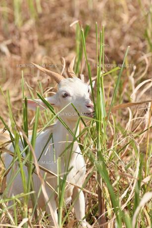 宮古島/山羊の写真素材 [FYI01231030]