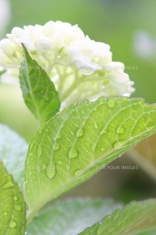 紫陽花の写真素材 [FYI01231210]