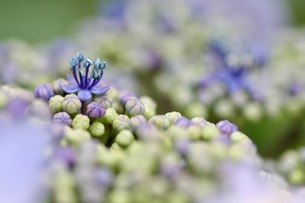 紫陽花の写真素材 [FYI01231212]
