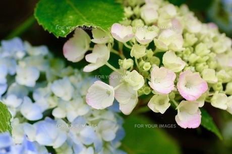 紫陽花の写真素材 [FYI01231213]