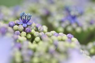 紫陽花の写真素材 [FYI01231214]