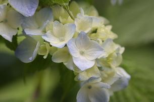 紫陽花の写真素材 [FYI01231215]