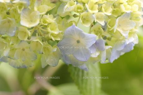 紫陽花の写真素材 [FYI01231216]
