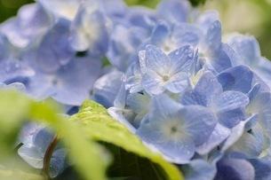 紫陽花の写真素材 [FYI01231217]